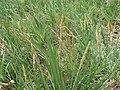 Sporobolus virginicus (5188556250).jpg