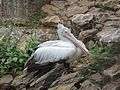 Spot-billed pelican at Nandankanan Zoological Park.jpg