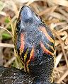 Spotted-legged Turtle (Rhinoclemmys punctularia) (39269097192).jpg