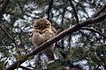 Spotted Owlet (Athene brama) (20853423731).jpg