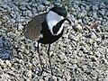 Spur-winged (Vanellus spinosus) RWD1.jpg