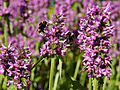 Stachys officinalis-IMG 8544.jpg