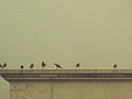 Standing crows after rain in roof.JPG