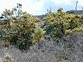 Starr-010714-0016-Bocconia frutescens-plants-Auwahi-Maui (23906181313).jpg