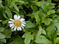 Starr-020108-0003-Erigeron karvinskianus-flower-Makawao near cemetery-Maui (23919237123).jpg