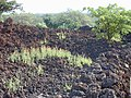 Starr-020124-0014-Zinnia peruviana-habit in lava-Puu o Kali-Maui (24178437919).jpg