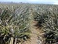 Starr-020630-0021-Ananas comosus-field-Makawao-Maui (24467937561).jpg