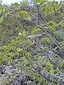 Starr-030202-0048-Senna gaudichaudii-leaves and seed pods-Wailea 670-Maui (23991708824).jpg