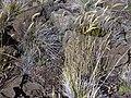 Starr-030721-0151-Anthoxanthum odoratum-habit-Kalahaku HNP-Maui (24611524286).jpg
