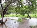 Starr-040323-0022-Schinus terebinthifolius-flooded-Kanaha Beach-Maui (24581302512).jpg