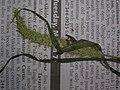 Starr-060305-6582-Setaria verticillata-voucher 060228 11-Moku Manu-Oahu (24229997854).jpg