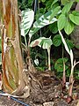 Starr-061106-1443-Musa x paradisiaca-Maoli Maia Manini Koae variegated-Maui Nui Botanical Garden-Maui (24500766199).jpg