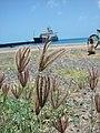 Starr-080531-4762-Chloris barbata-inflorescences with Coast Guard ship Walnut-Cargo Pier Sand Island-Midway Atoll (24910700735).jpg