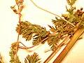 Starr-090504-7373-Erodium cicutarium-leaves and flowers-Science City-Maui (24323825964).jpg