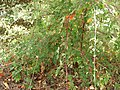 Starr-090519-8045-Rubus niveus-red and white stems-Kula-Maui (24955661405).jpg
