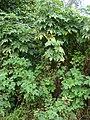 Starr-090601-8688-Montanoa hibiscifolia-habit-Ulupalakua-Maui (24960897135).jpg