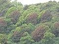 Starr-090618-1224-Mangifera indica-habit with red and green leaves-Wailua-Maui (24598352669).jpg