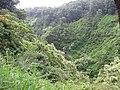 Starr-090623-1298-Aleurites moluccana-habit on hillsides-Hana Hwy-Maui (24670678060).jpg