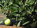Starr-091020-8387-Solanum muricatum-fruit and leaves-Kula Experiment Station-Maui (24355888854).jpg