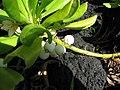 Starr-091104-0737-Scaevola taccada-flower leaves and fruit-Kahanu Gardens NTBG Kaeleku Hana-Maui (24894198181).jpg
