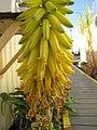 Starr-091222-1009-Aloe vera-flowers-Honokanaia-Kahoolawe (24875000242).jpg