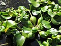 Starr-100114-1275-Eichhornia crassipes-habit in water garden-Enchanting Floral Gardens of Kula-Maui (24376290564).jpg