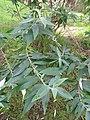 Starr-110307-2177-Buddleja davidii-leaves-Kula Botanical Garden-Maui (24984423591).jpg