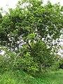 Starr-110609-6194-Gliricidia sepium-habit-Shibuya Farm Kula-Maui (24800843790).jpg