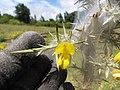 Starr-110628-6379-Ulex europaeus-biocontrol mite webbing-Piiholo-Maui (24979307602).jpg