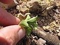Starr-110929-9606-Acanthospermum australe-leaf underside-Hanaula-Maui (25090589076).jpg