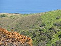Starr-111012-0824-Andropogon virginicus-habit view previous Gressitt fire area-Kahana-Maui (24491976153).jpg