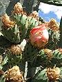 Starr-120430-5381-Opuntia ficus indica-flower and fruit-Kula-Maui (24513853423).jpg