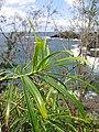 Starr-130319-3077-Thevetia peruviana-leaves-Kilauea Pt NWR-Kauai (25182318956).jpg
