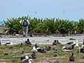 Starr-150403-0347-Crinum asiaticum-hedge with Kim and Laysan Albatrosses-Near Pier Eastern Island-Midway Atoll (25276379915).jpg