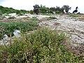 Starr-170629-0347-Lepidium virginicum-seeding habit-Turtle Beach Sand Island-Midway Atoll (36457345785).jpg