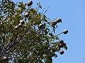 Starr-180406-0652-Swietenia macrophylla-fruit leaves-Airport Hilo-Hawaii (40474346995).jpg