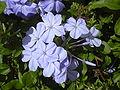 Starr 031108-0133 Plumbago auriculata.jpg
