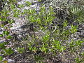 Starr 031108-0249 Dodonaea viscosa.jpg