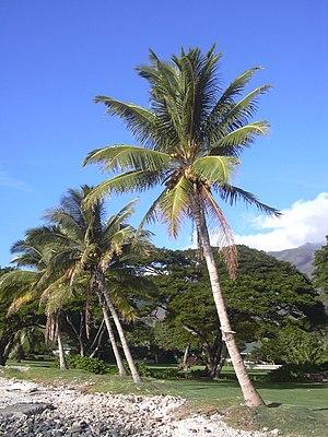 Kokospalmen auf Maui