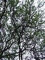 Starr 040514-0225 Prosopis pallida.jpg