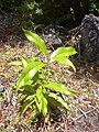 Starr 040731-0034 Nestegis sandwicensis.jpg
