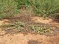 Starr 041102-0358 Solanum nelsonii.jpg