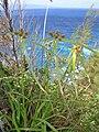 Starr 050315-5180 Cyperus phleoides.jpg