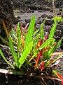 Starr 051004-4683 Oenothera stricta subsp. stricta.jpg
