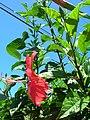 Starr 060820-8631 Hibiscus rosa-sinensis.jpg