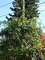 Starr 070306-5226 Norantea guianensis subsp. guianensis.jpg