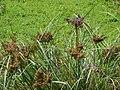 Starr 070413-6933 Cyperus javanicus.jpg