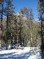 Starr 071225-0652 Pinus ponderosa.jpg