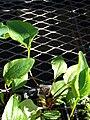 Starr 080103-1286 Echinacea purpurea.jpg