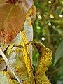 Starr 080304-3176 Syzygium jambos.jpg